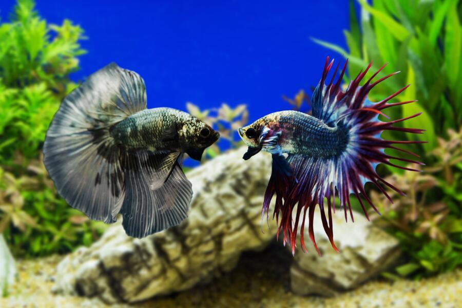 Почему аквариумные рыбки дерутся?