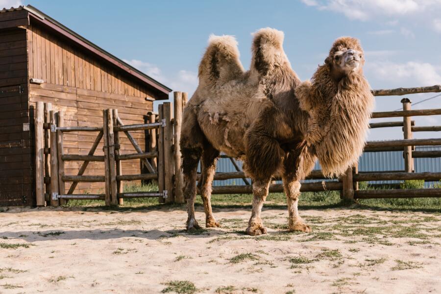 Где могут жить верблюды?