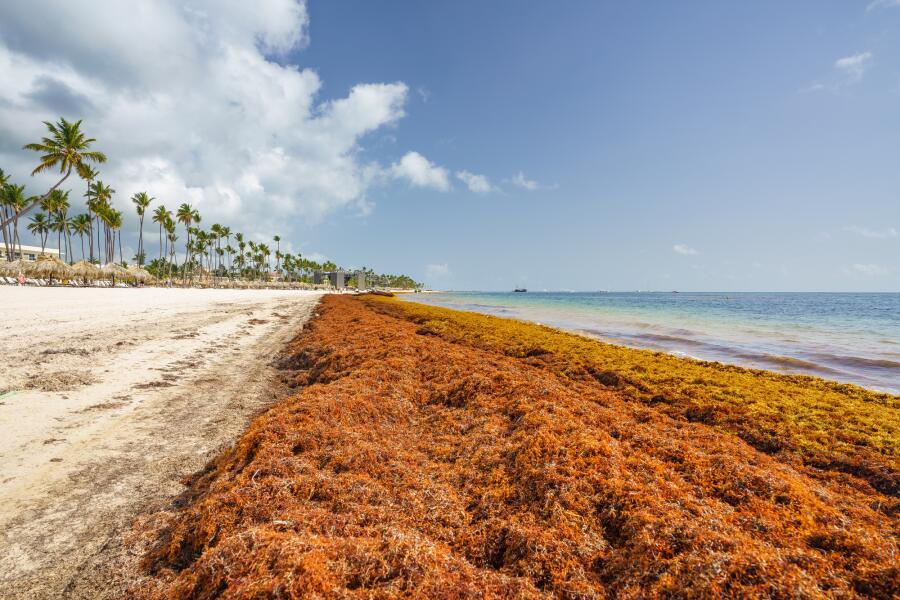 Пунта-Кана, Доминиканская Республика - 17 июня 2018 г. водоросли Саргассового моря <br />  на берегу океана