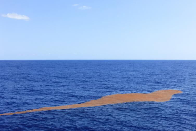 Водоросли саргасса в Саргассовом море