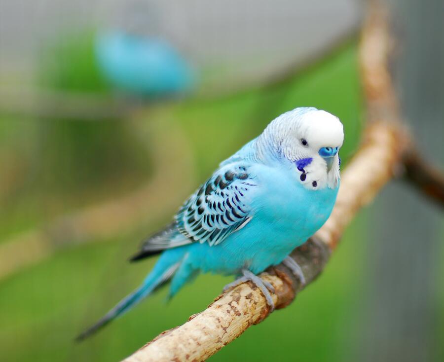 Как выбрать говорящего волнистого попугая? Личный опыт