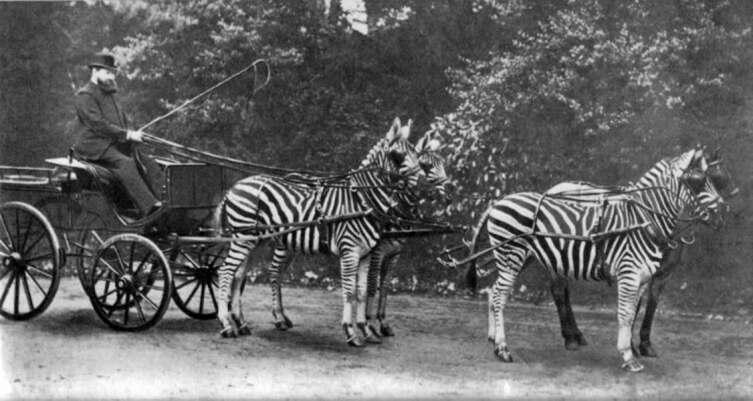 Лорд Ротшильд и его зебры