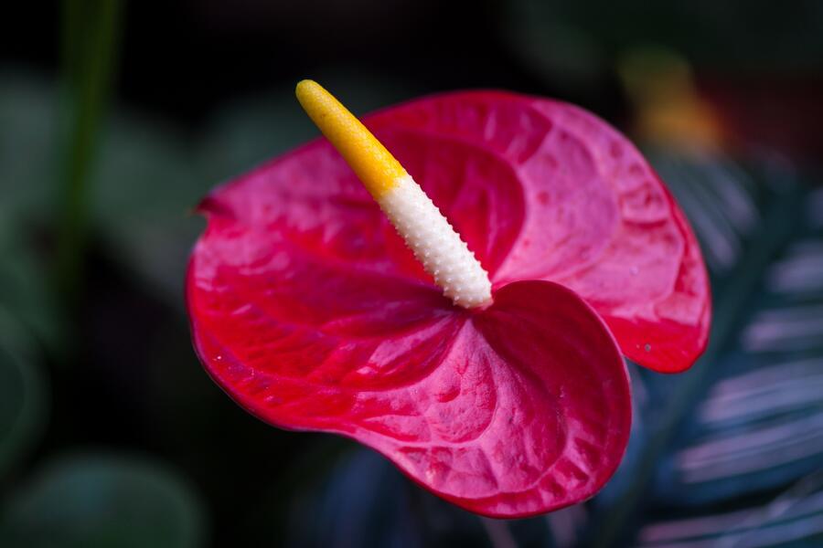 Антуриум — цветок для мужчин. Чем он покоряет сердца цветоводов?