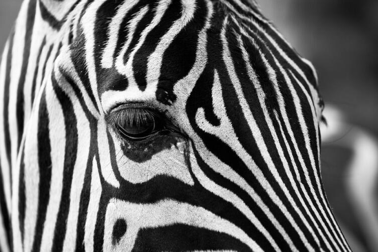 Зебра - белая с чёрным, или чёрная с белым?