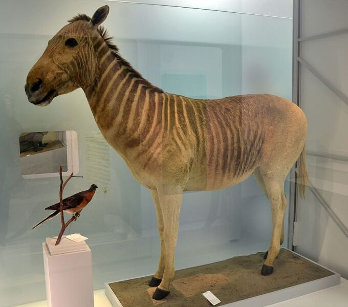 Чучело квагги в Музее естественной истории города Базеля