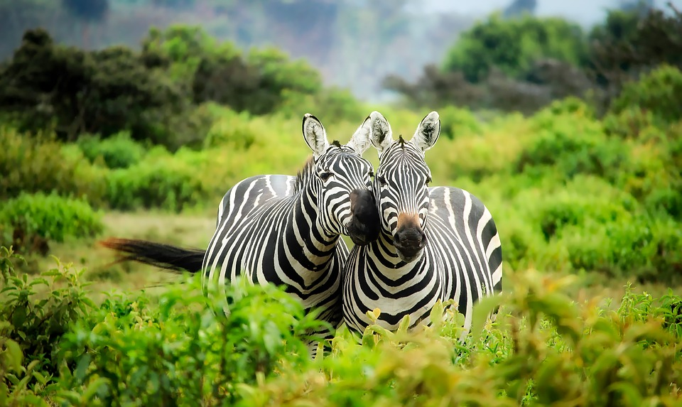 Почему зебр истребляли, а не приручали?