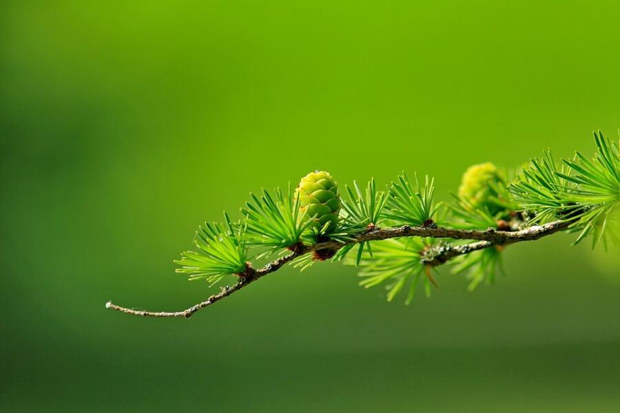О каких свойствах лиственницы знают лишь специалисты?