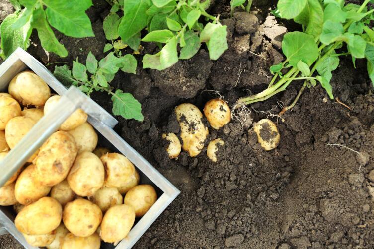 Как размножить ценный сорт картофеля?