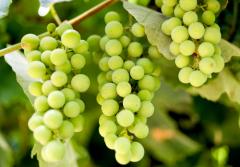 В истории с виноградом человечество двигалось не от простого к сложному, а совсем в обратном направлении.