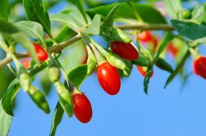Ягоды годжи — чудо или просто ягодки?