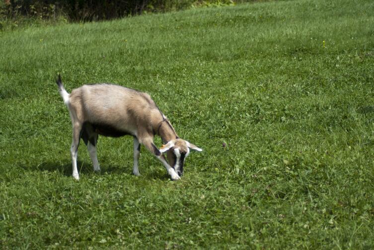 Как получить от козы максимальный удой?