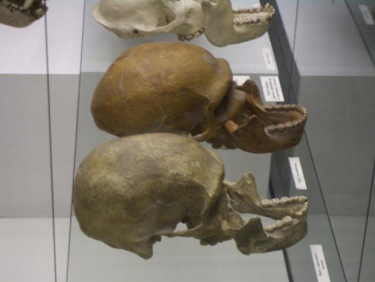 Черепа неандертальского человека и современного долихоцефала