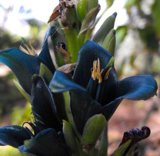 Раскрывшийся цветок пуйи альпийской