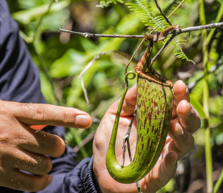 Хищное растение Nepenthes northiana