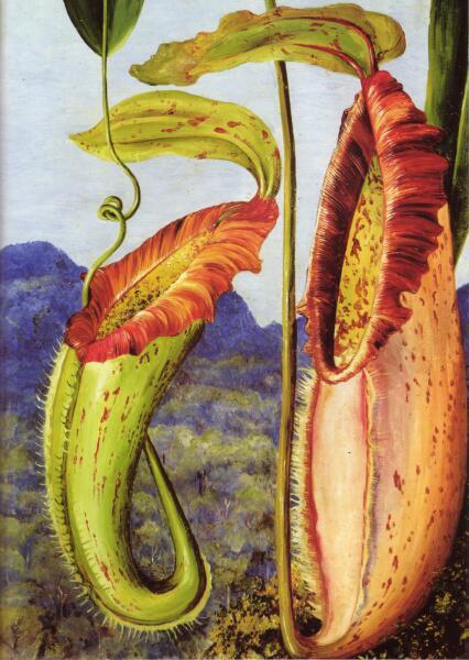 Марианна Норт, «Цветок тропического кувшинчикового Непентес Нортиания (известняковые горы Саравак, Борнео)», 1876 г.