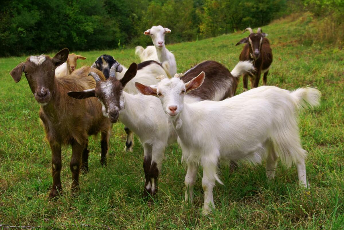 Каким должно быть пастбище для коз?