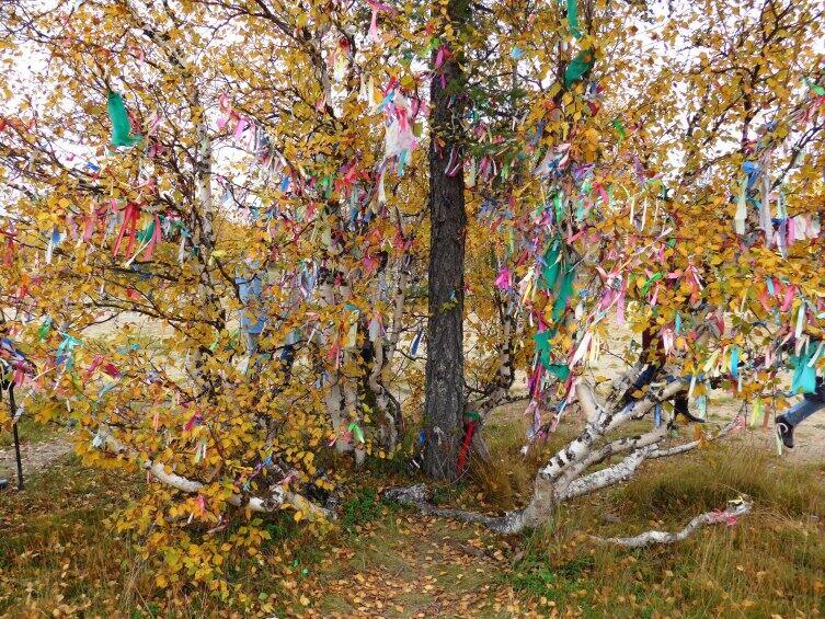 Святое дерево лиственница среди берез