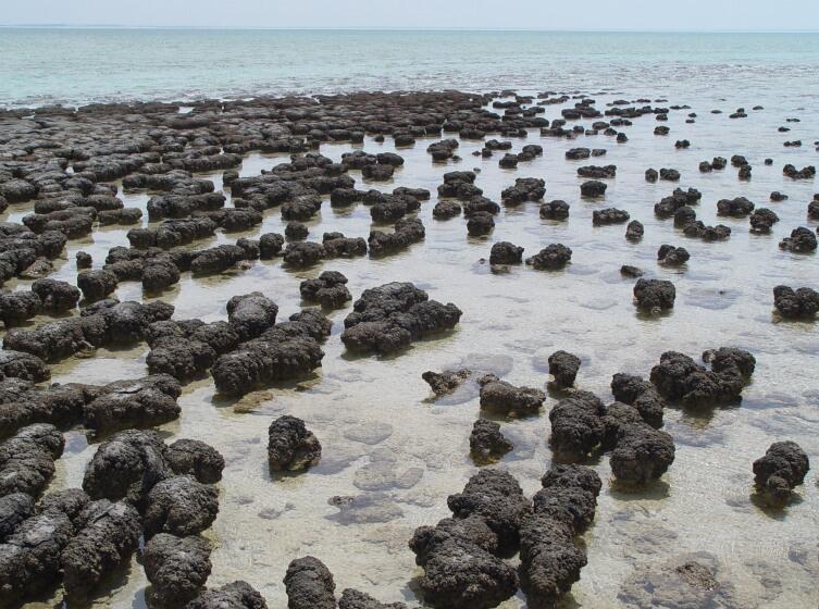 Современные строматолиты в заливе Шарк-Бэй в Западной Австралии
