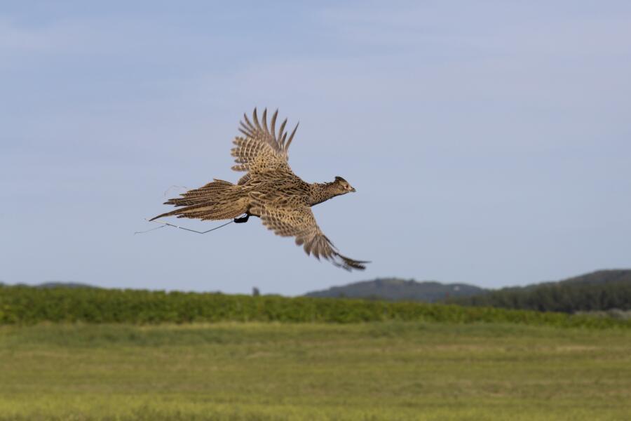 Полет фазана