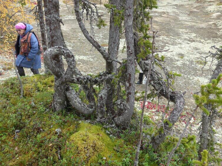 Завязанные в узел стволы елок