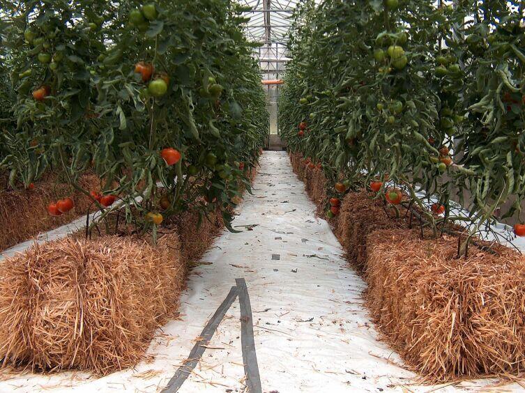 Томаты, выращиваемые гидропонно в стогах сена
