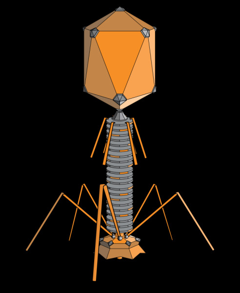 Внешний вид вируса-бактериофага