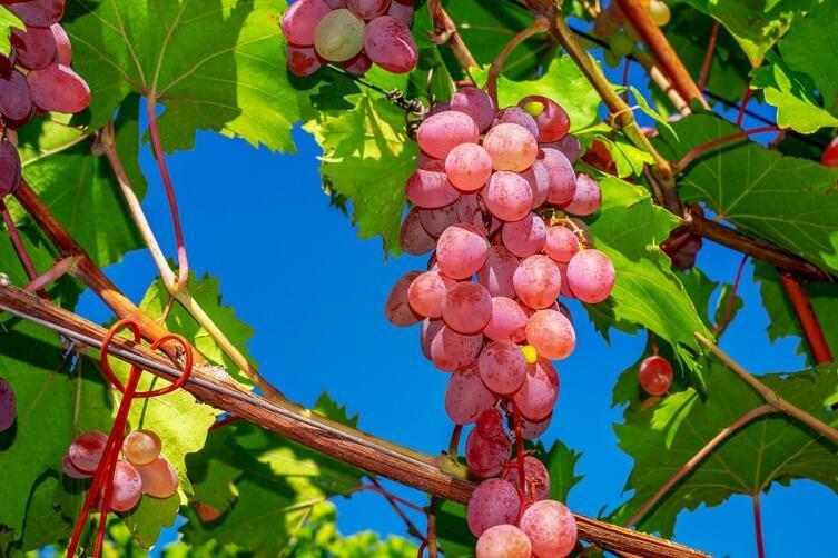 Чем полезен виноград?