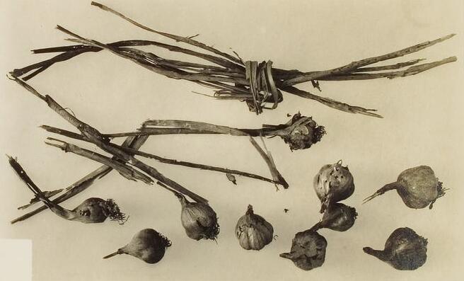 Чеснок, найденный в гробнице Тутанхамона