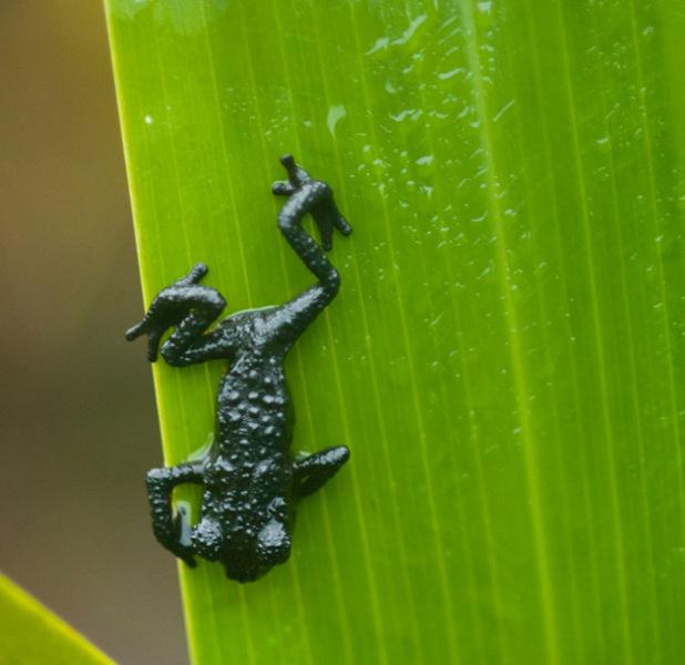 Гвианский арлекин - эндемик Рораймы, реликтовая амфибия