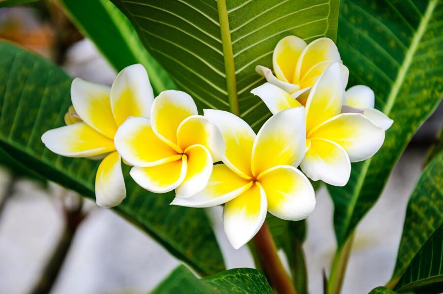 Как вырастить плюмерию — буддийский символ бессмертия и любимый цветок Кришны?