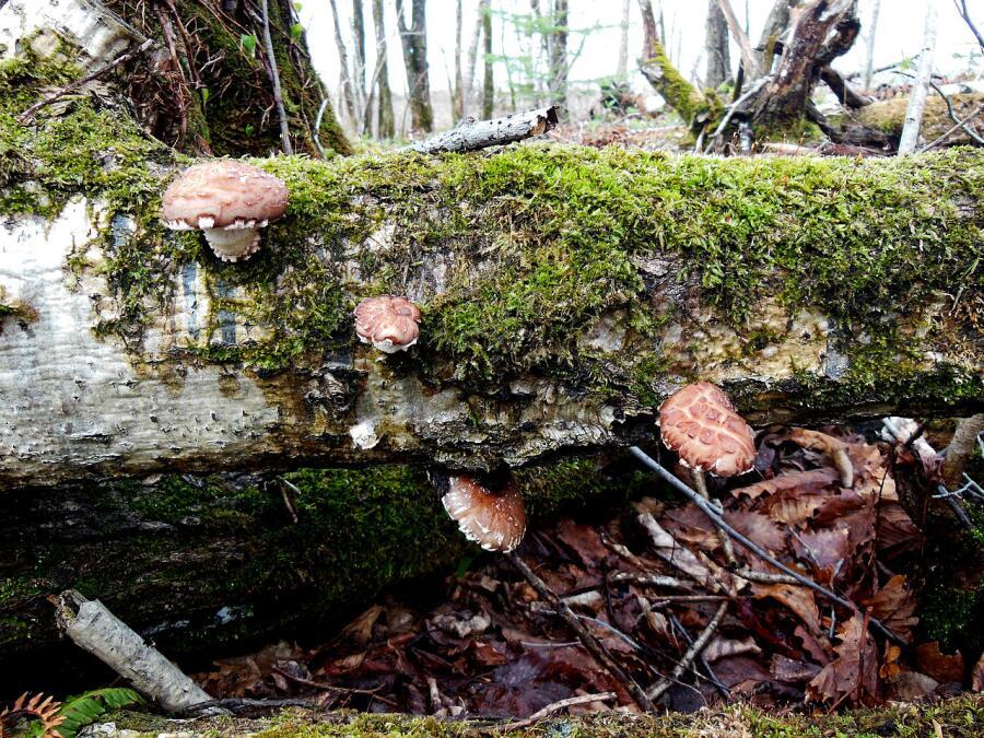 Шиитаке в природе на поваленном стволе берёзы, Хоккайдо, Япония