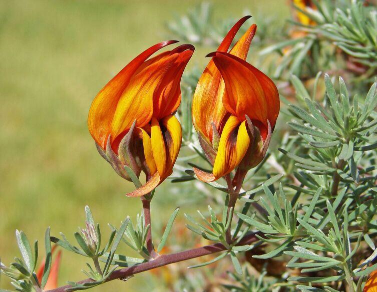 Лядвенец пятнистый (Lotus maculatus)