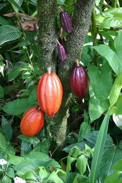 Плоды какао различной степени зрелости