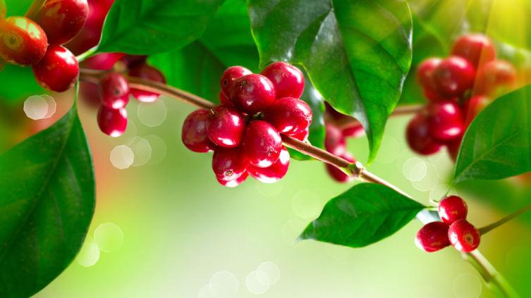 Веточка кофейного дерева