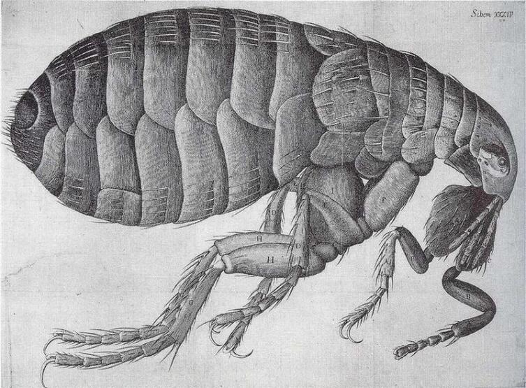 Гравюра блохи из «Микрографии» Р. Гука, 1665 г.