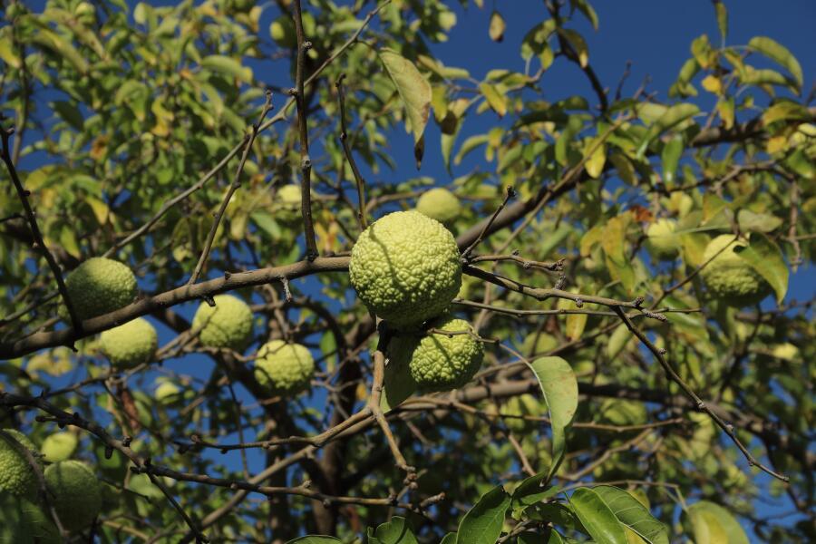 Почему маклюра – дерево отчаявшихся?