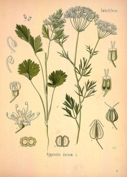 Анис, или Бедренец анисовый (лат. Pimpinélla anísum). Снадобья из этого растения применял Гиппократ