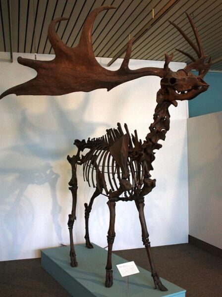 Скелет мегалоцероса