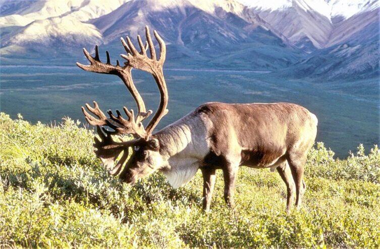 Как живет северный олень?