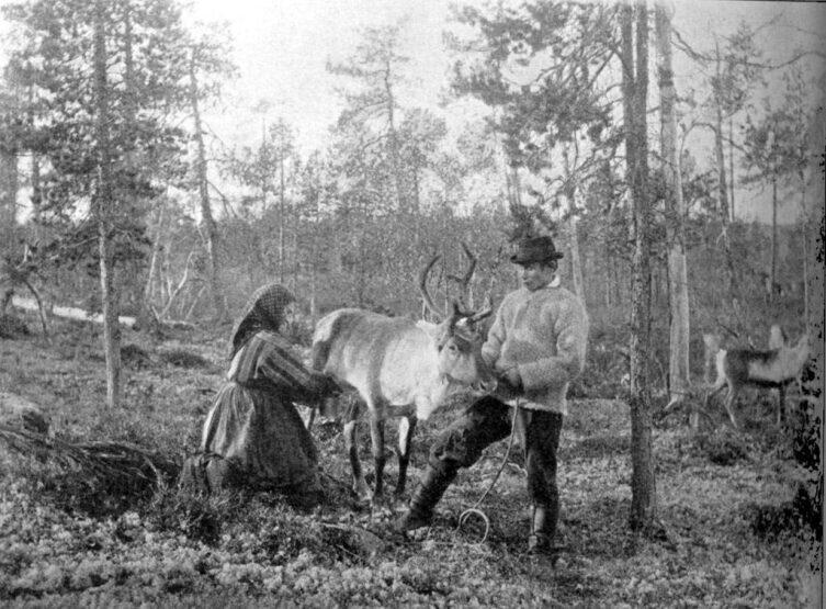 Доение северного оленя в Финляндии