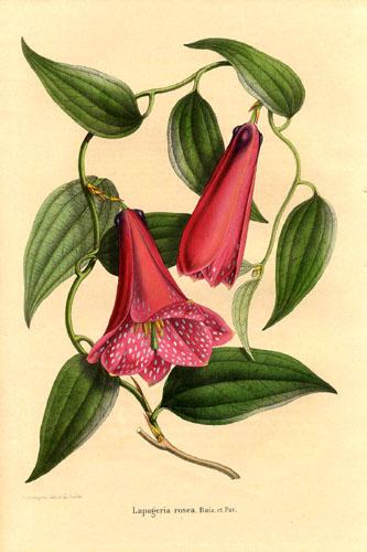 Лапажерия розовая Ботаническая иллюстрация из книги Annales de la Société royale d'Agriculture et de Botanique de Gand, Journal d'horticulture by Charles Morren, 1849