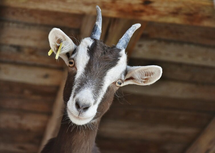 Любовь зла, полюбишь и козла!