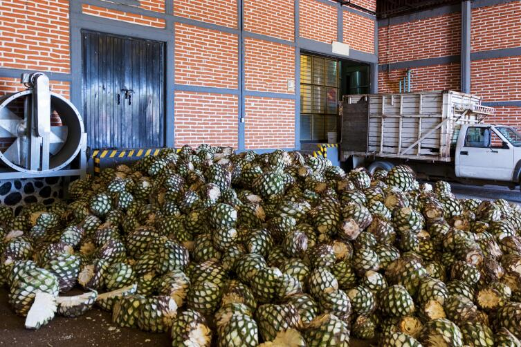 Плоды агавы готовые к переработке
