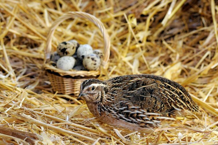 Стоит ли покупать перепелиные яйца?