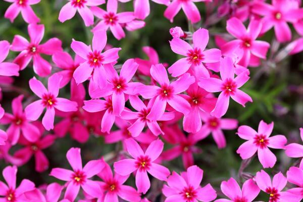 Как вырастить флоксы – ароматные цветы лета?