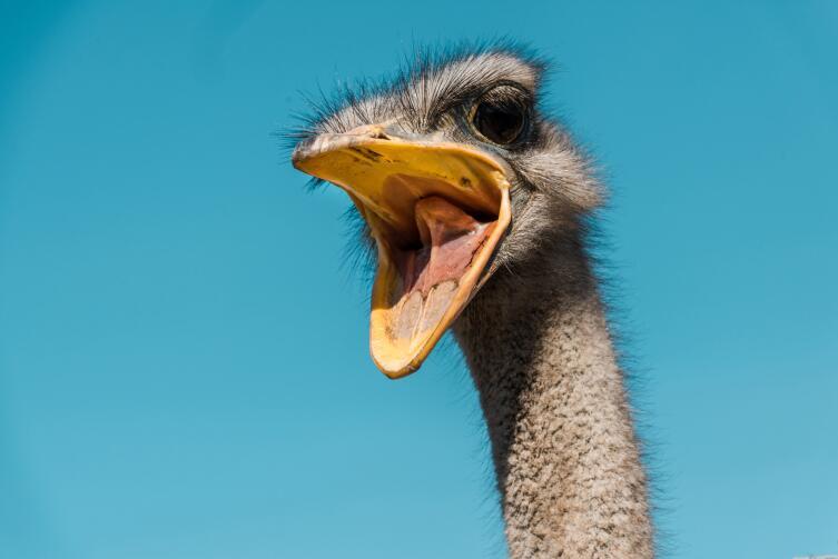 Где живут страусы?