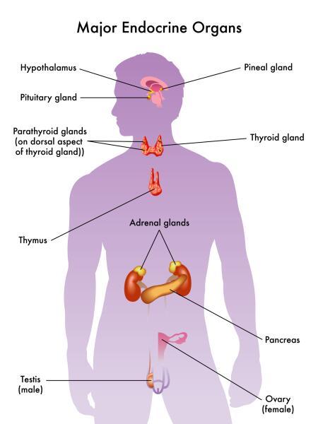 Человеческая эндокринная система