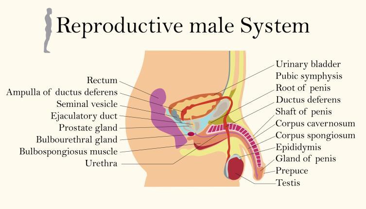 Мужская репродуктивная система