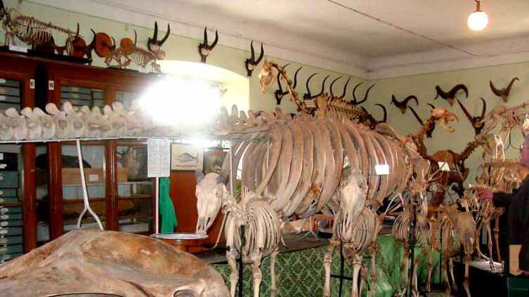 Скелет стеллеровой коровы в Зоологическом музее имени Бенедикта Дыбовского во Львове