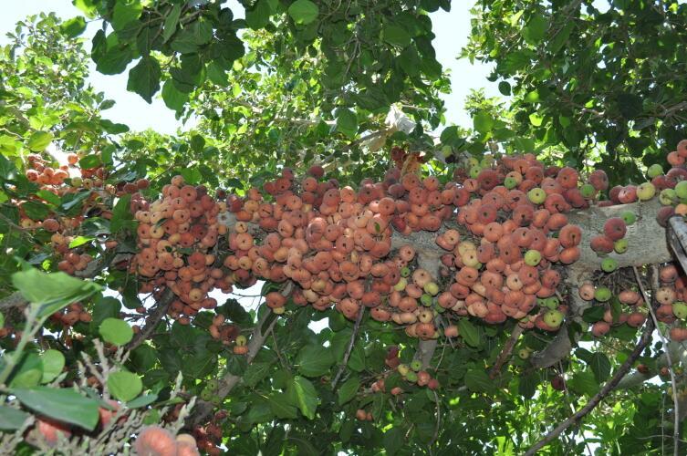 Плоды сикомора